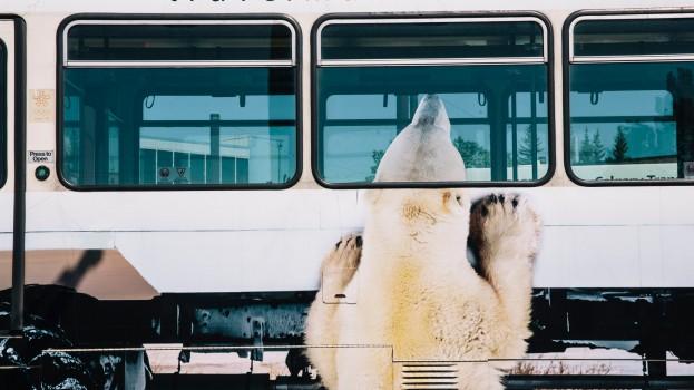 travel manitoba Calgary polar bear2